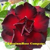 rosy adenium plant rich rose
