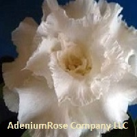 desert rose plant ruffled feathers