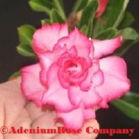 Desert rose plant succulent