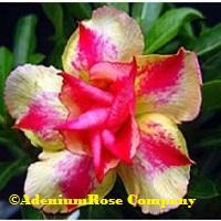 silk yellow rosy adenium plant