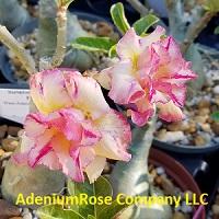 Adenium plants sunshine rays