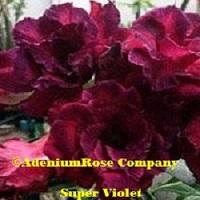 Violet color adenium desert rose plant flower