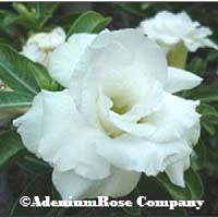 White adenium flowering succuentt plant