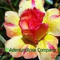 adenium plant desert rose plants flowering succulent yellow