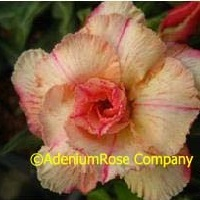 Tranquill sunrise adenium plant hybrid