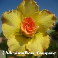 Yellow adenium plant with orange desert rose