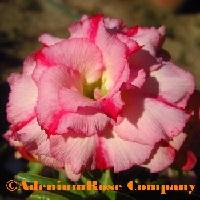 adenium obesum triple desert rose plant glower