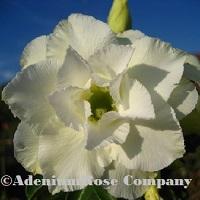 adenium plant flowering cactus succulent desert rose plants white triple