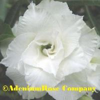 Great triple white desert rose plant