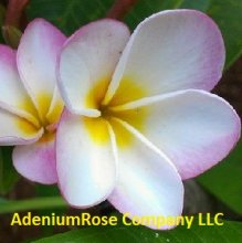 Plumeria Plant Pink Pansy Large