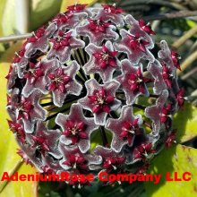 Hoya Pubicalyx Red Button