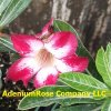 Adenium Seedlings 18 Pack read description (click on image)