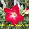 Adenium seedlings 6 pack - Read description (click on image)
