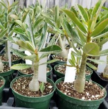 Adenium seedlings 12 Pack - Read description (click image)