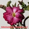 Adenium A 3 flowers types in 1 Large
