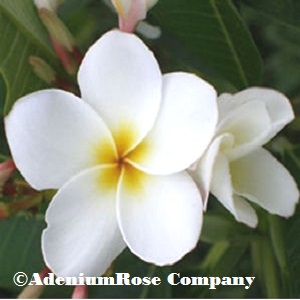 Plumeria Plant Dwarf Dream White - Single Stem