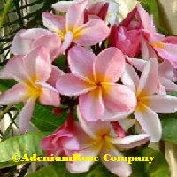 Plumeria 3 pack Multi-TipRooted